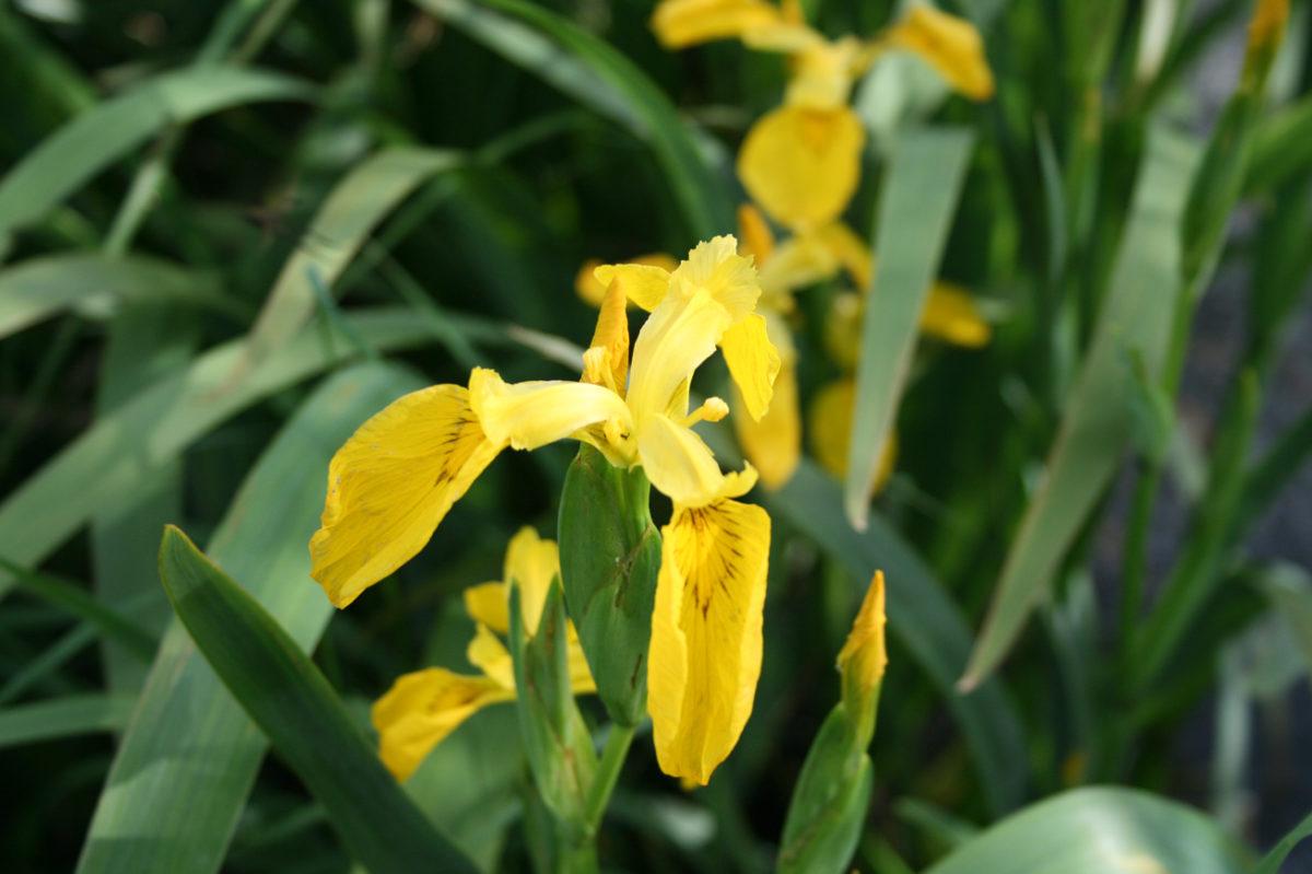 Iris des marais