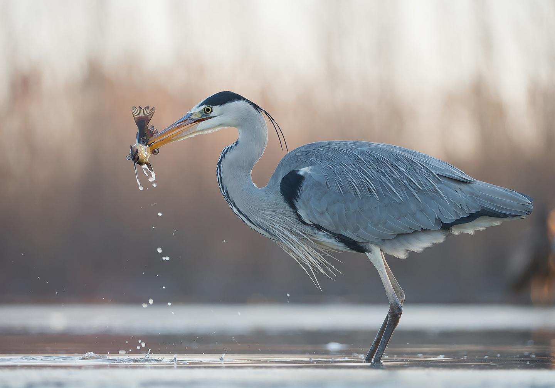 Héron cendrée capté lors d'une séance ornithologie