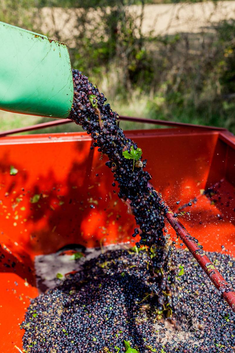 vigne récolte raisin vendange vignoble vin mareuillais fiefs vendéens